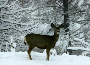 Mule Deer and first snow