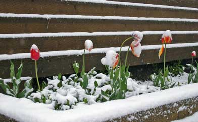 Snow covered tulips