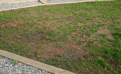 Newly sprouted lawn